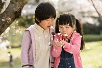 桜の咲く公園で遊ぶ日本人の子供