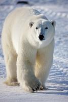 北極 ホッキョクグマ