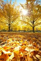 東京都 国営昭和記念公園 イチョウ並木の黄葉