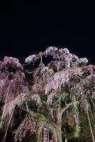 夜桜・紅枝垂地蔵桜
