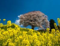 佐賀県 馬場の山桜