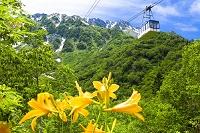 富山県 立山ロープウェイとニッコウキスゲ