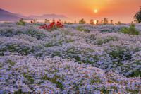 香川県 マーガレット咲くフラワーパーク浦島と朝日