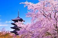 京都府 桜咲く春の東寺