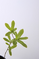 クヌギの幼木