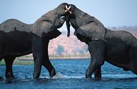 ボツワナ アフリカゾウのオスのケンカ