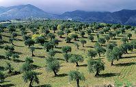 アンダルシアのオリーブ畑