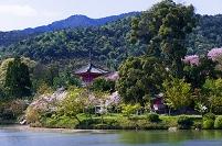 京都府 大覚寺の桜と大沢の池