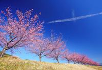 静岡県 伊豆の国市 狩野川堤防の河津桜の桜並木と交差する雲