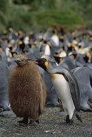 オーストラリア マッコーリー島 キングペンギンの群れ