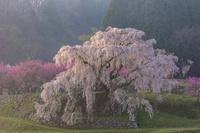奈良県 朝の又兵衛桜