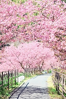 静岡県 伊豆 河津桜