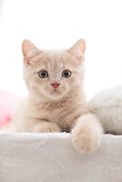 ブリティッシュショートヘアの子猫