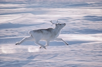 カナダ エルズミーア島 走るピアリーカリブー