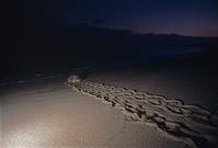 鹿児島県 屋久島 産卵を終え海に帰るアカウミガメ