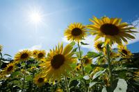 ヒマワリの花畑と太陽