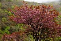 幌内川の蝦夷山桜