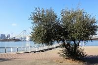 オリーブの木とレインボーブリッジ
