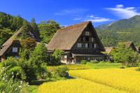 岐阜県 イネの実る白川郷の明善寺