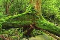 鹿児島県 屋久島 奉行杉コース遊歩道の苔むす三本足杉と新緑の...