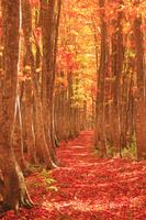 青森県 十和田市 八甲田山 紅葉のブナ林と並木道