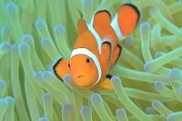 サンゴ礁 カクレクマノミ