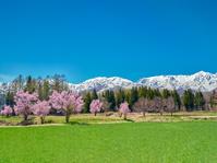 長野県 白馬村 雪山と桜
