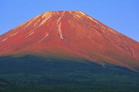 山梨県 夕刻の光で赤く染まる残雪の富士山