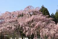 京都府 醍醐寺 三宝院大玄関前の太閤しだれ桜