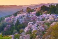 奈良県 桜咲く朝の吉野山