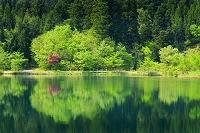 新潟県 新緑 反映 長仙坊池