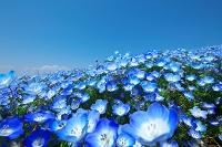 茨城県 ネモフィラの花の丘