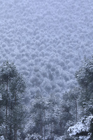 京都府 雪化粧した北山杉の樹林