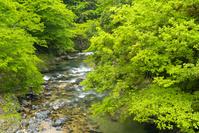 新潟県 杉川 渓流 新緑