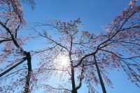 東京都 しだれ桜と太陽 小石川後楽園
