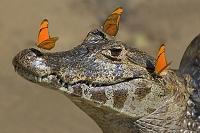 パラグアイカイマンの頭上にとまる蝶