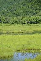 群馬県 アオサギと湿原