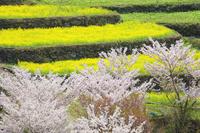徳島県 江田の菜の花と桜