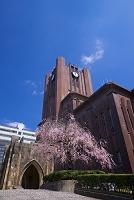 東京都 安田講堂としだれ桜