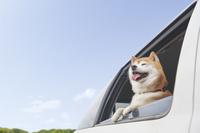 車に乗る柴犬