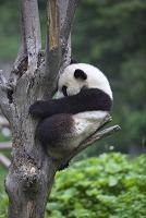 ジャイアントパンダ 臥龍自然保護区