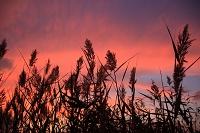 宮城県 葦の穂と夕焼け空