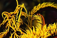 ウミシダに擬態するバサラカクレエビ 久米島