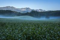 長野県 朝のそば畑と北アルプス