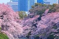 東京都 千鳥ヶ淵 桜