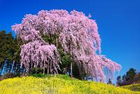 福島県 合戦場の桜