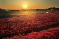 愛知県 矢勝川に群生する彼岸花の花畑と朝日