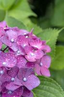 梅雨 アジサイに雨の雫