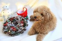 トイプードルのとクリスマス雑貨