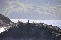 東京都 小笠原諸島に生息するカツオドリの群れ